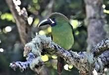 Toucanet à gorge bleue