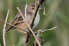 Cisticole à ailes courtes