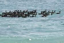 Cormoran de Socotra