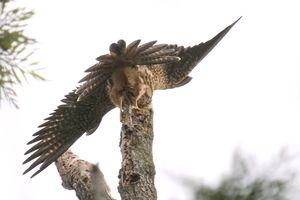 Faucon de Cuvier