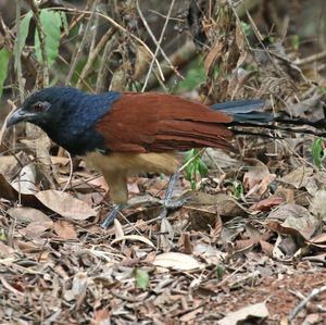 Coucal à ventre blanc