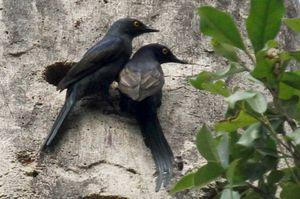 Rufipenne à queue étroite