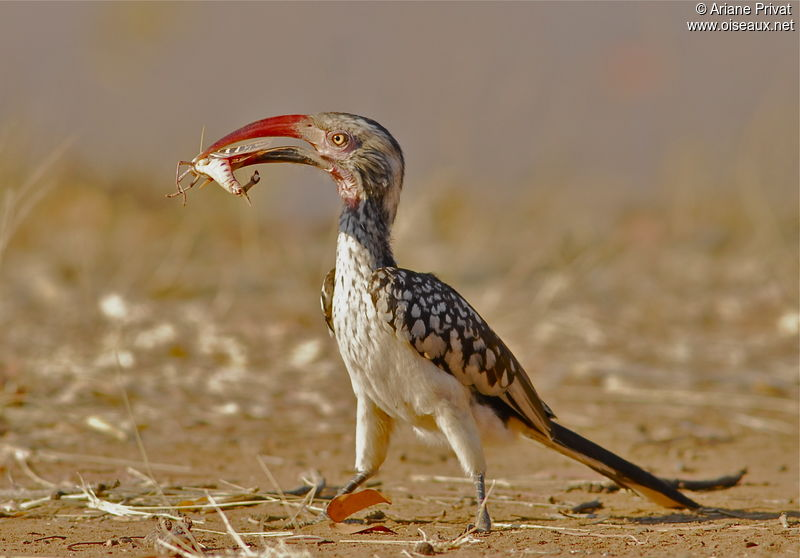 Calao d 39 afrique du sud photos page 1 for Oiseaux du sud de la france