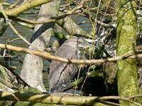Bihoreau gris