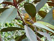 Cardinal jaune