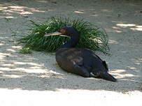 Cormoran de Bougainville