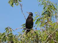 Cormoran noir