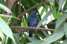 Guiraca bleu