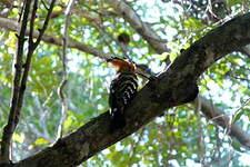 Huppe de Madagascar