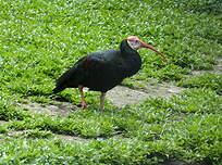 Ibis du Cap