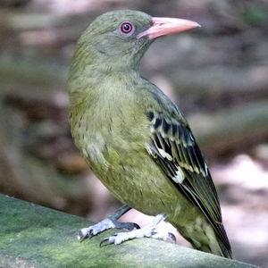 Loriot verdâtre