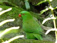 Loriquet vert