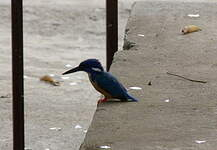 Martin-pêcheur à demi-collier