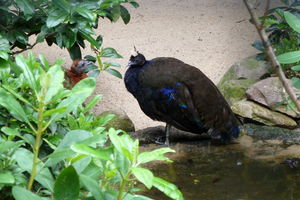 Paon du Congo