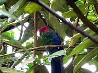 Perruche à ailes vertes