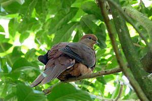 Phasianelle brune
