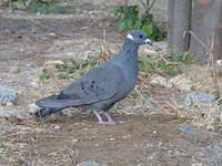 Pigeon à collier blanc
