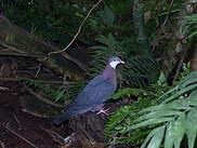 Pigeon à gorge blanche