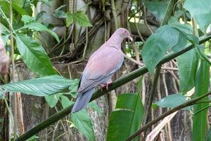 Pigeon du Pérou