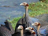 Pintade vulturine