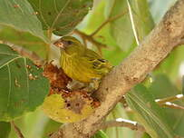 Serin d'Abyssinie