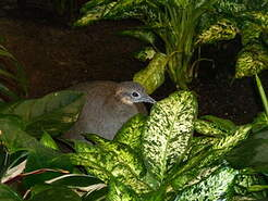 Tinamou solitaire