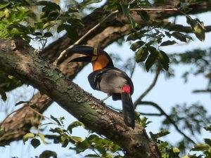Toucan ariel