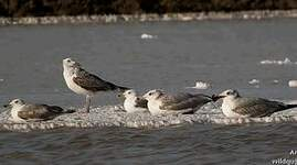 Lesser Black-backed Gull (heuglini)