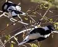 Mésange à ailes blanches