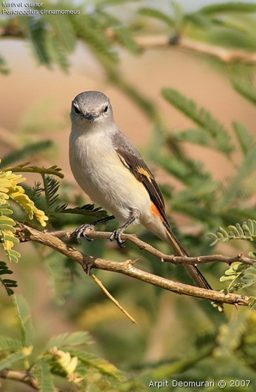minivet.oranor.arde.2g Age : Adult Reference: ambe77793