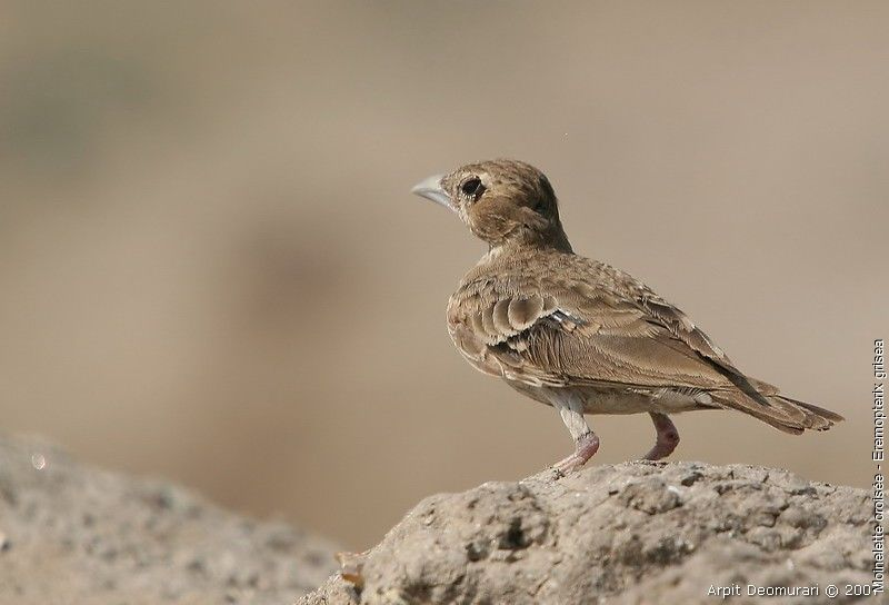 Ashy-crowned Sparrow-Lark female adult breeding