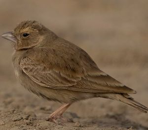 Ashy-crowned Sparrow-Lark