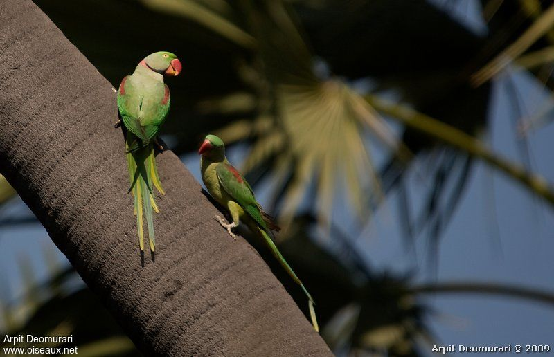 Alexandrine Parakeet adult breeding