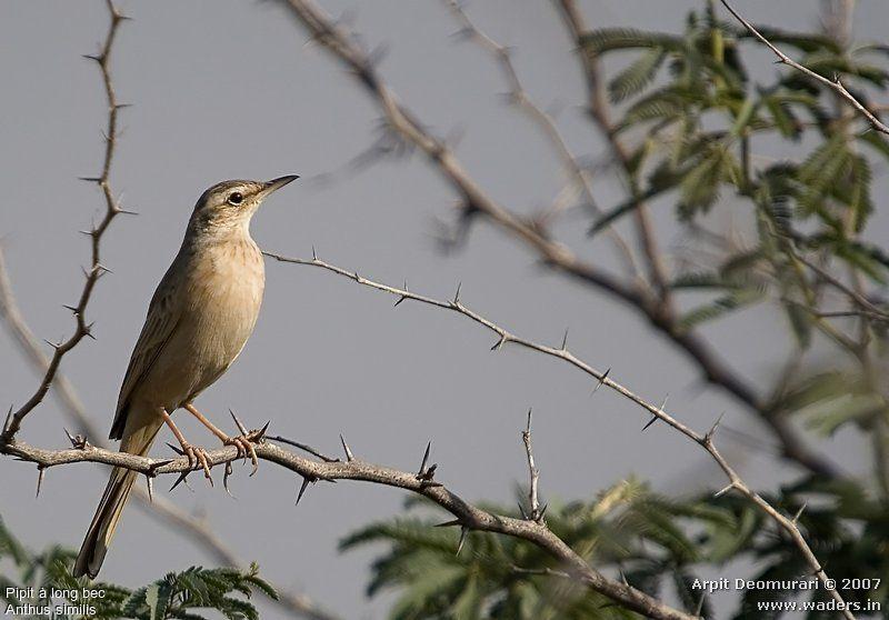 Pipit long bec ref arde45049 for Oiseau a long bec