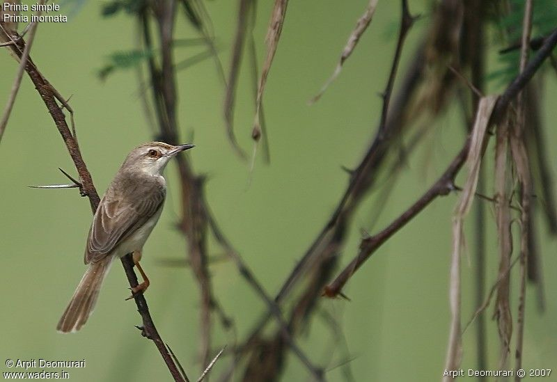 Prinia simple adulte nuptial