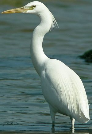 Aigrette de Chine