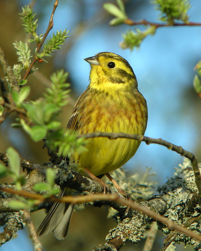 Bruant jaune m le adulte nuptial ref auau82142 for Oiseau jaune france
