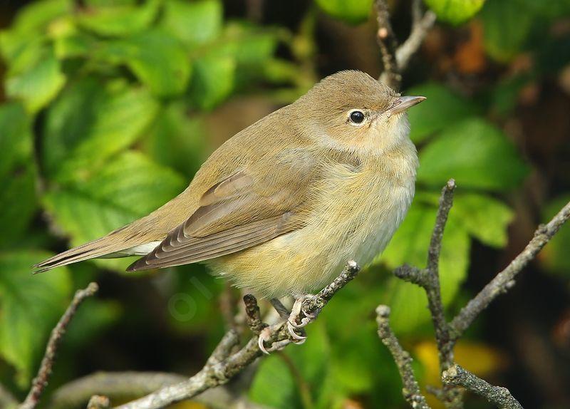 Fauvette des jardins photos page 1 for Liste oiseaux des jardins
