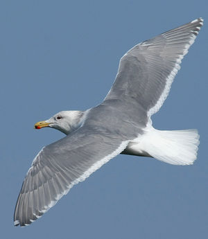 Goéland à ailes grises