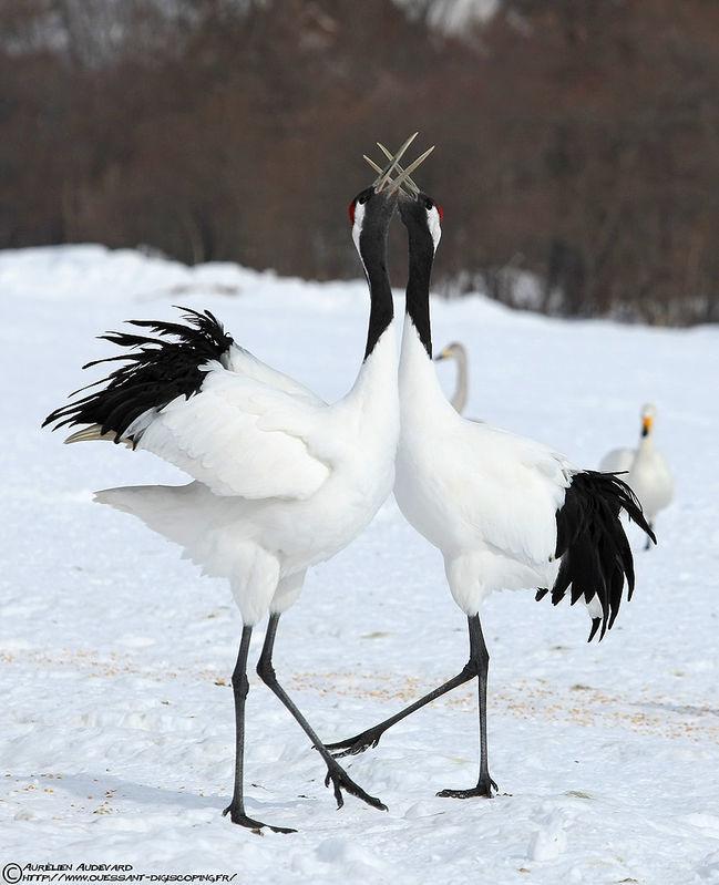 http://www.oiseaux.net/photos/aurelien.audevard/images/grue.du.japon.auau.4g.jpg