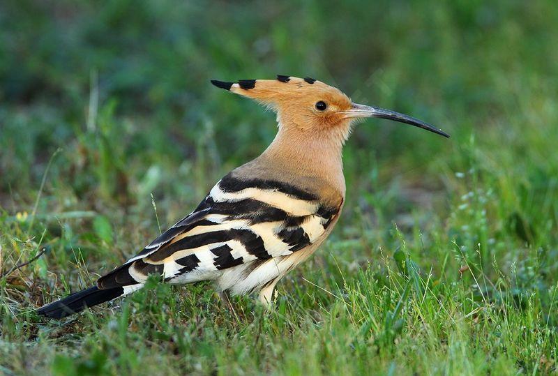 Huppe fasci e upupa epops for Oiseau a long bec
