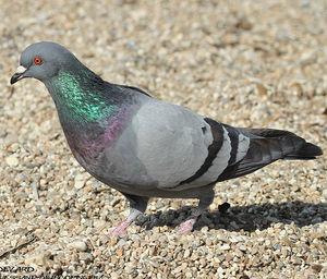 Pigeon Biset Columba Livia