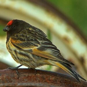 Serin à front rouge