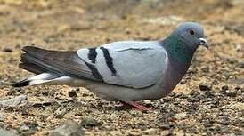 Pigeon des rochers