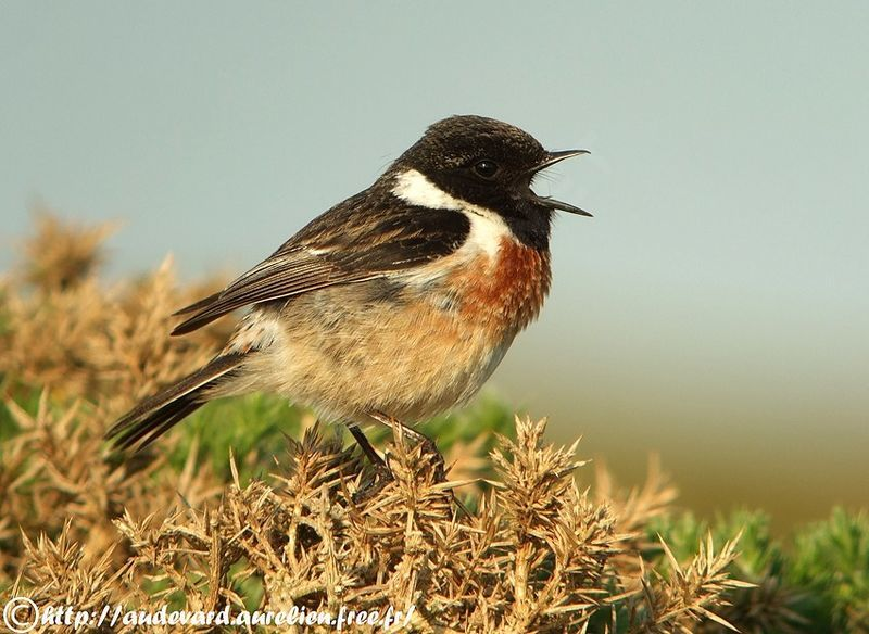 european stonechat saxicola rubicola male adult breeding. Black Bedroom Furniture Sets. Home Design Ideas