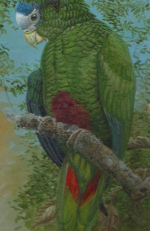 Amazone d'Hispaniola