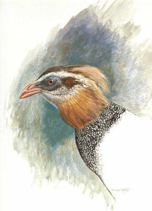 Argus ocellé