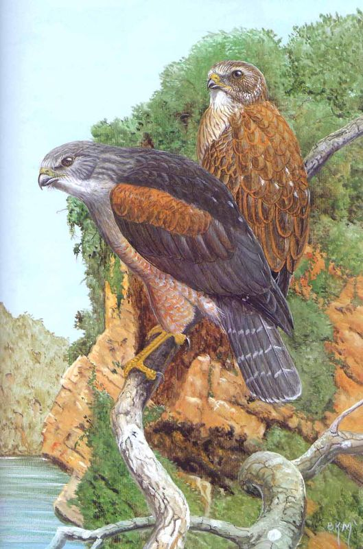 Artistic drawing of Ridgway's hawk