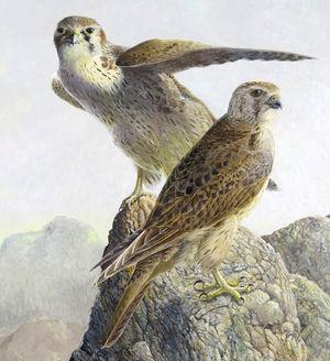 Faucon des prairies