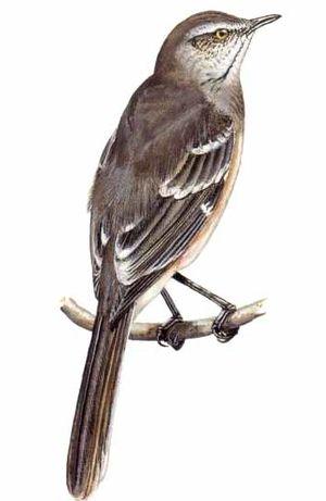 Bird Artwork Of Barry Kent Mackay